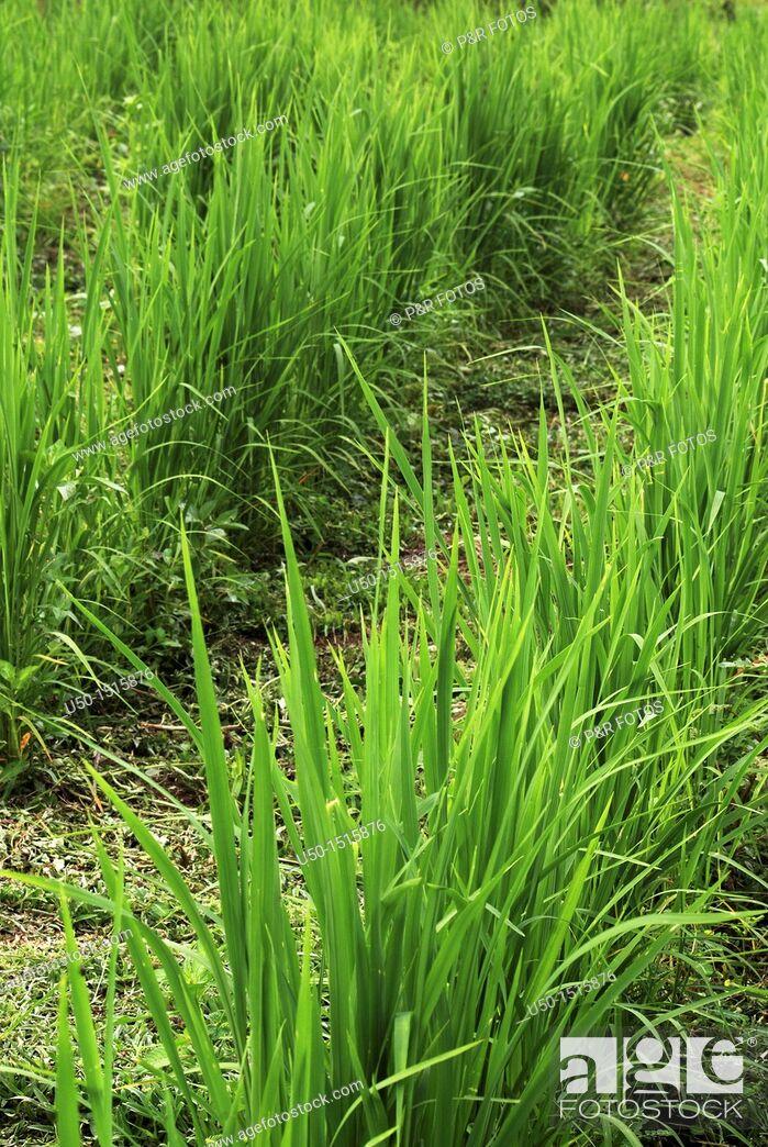 Stock Photo: Upland rice crop Oryza sativa.