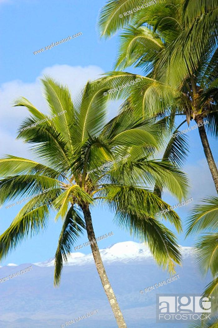 Stock Photo: Hawaii, Palm trees with snowcapped mountain in the background.