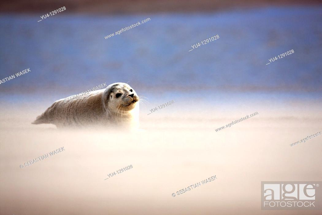 Stock Photo: Pup Atlantic Grey Seal (Halichoerus Grypus) on beach. Donna Nook Nature Reserve, Lincolnshire Wildlife Trust, North Somercotes, North East England.
