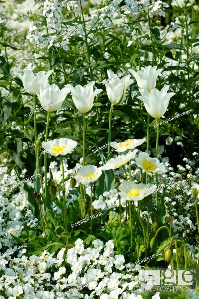 Stock Photo: White flower composition: tulips, poppies, pansies.
