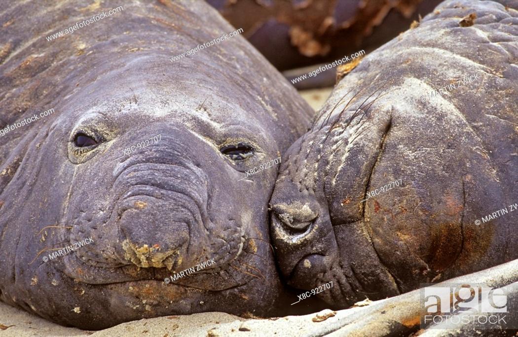 Stock Photo: Southern Elephant Seal bulls moulting on beach, Falkland Islands, January 2003.