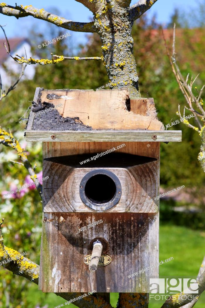 Stock Photo: Starling nest box (Sturnus vulgaris) was looted at night by a Stone Marten or Beech Marten (Martes foina). The marten has eaten a hole into the roof and then.