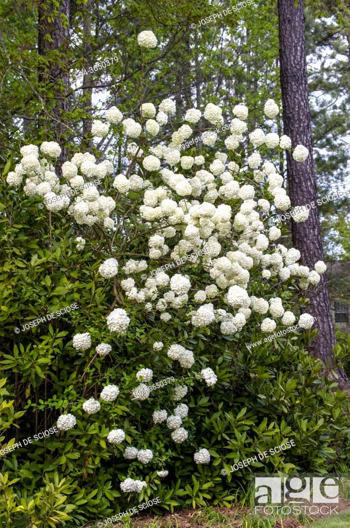 Stock Photo: The flowering shrub, Viburnum opulus 'Sterile' or snowball viburnum, in a garden setting.