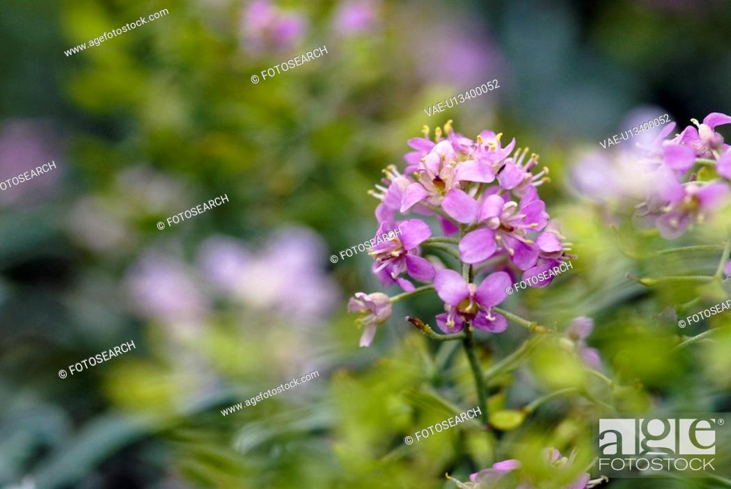 Stock Photo: outdoors, flora, belvedere, flowers, plants, Vienna, lilac.