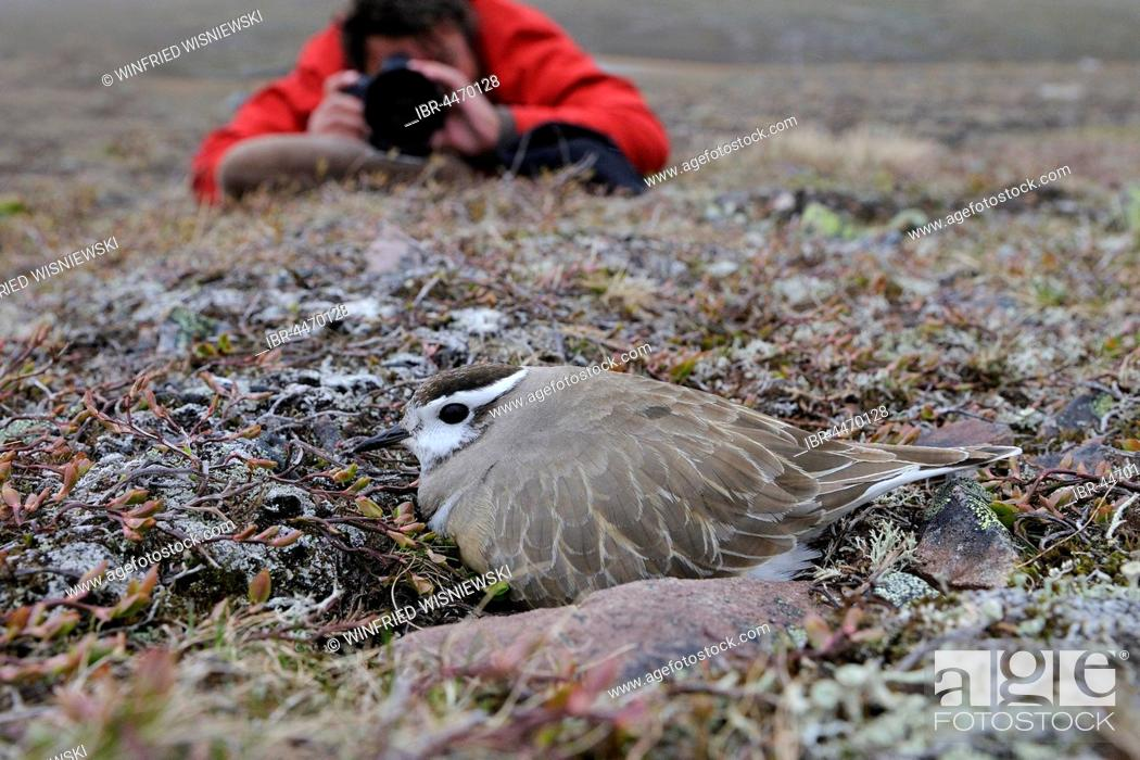 Stock Photo: Nature photographer taking photo, Eurasian dotterel (Eudromias morinellus), male in nest, breeding, Varanger, Norway.