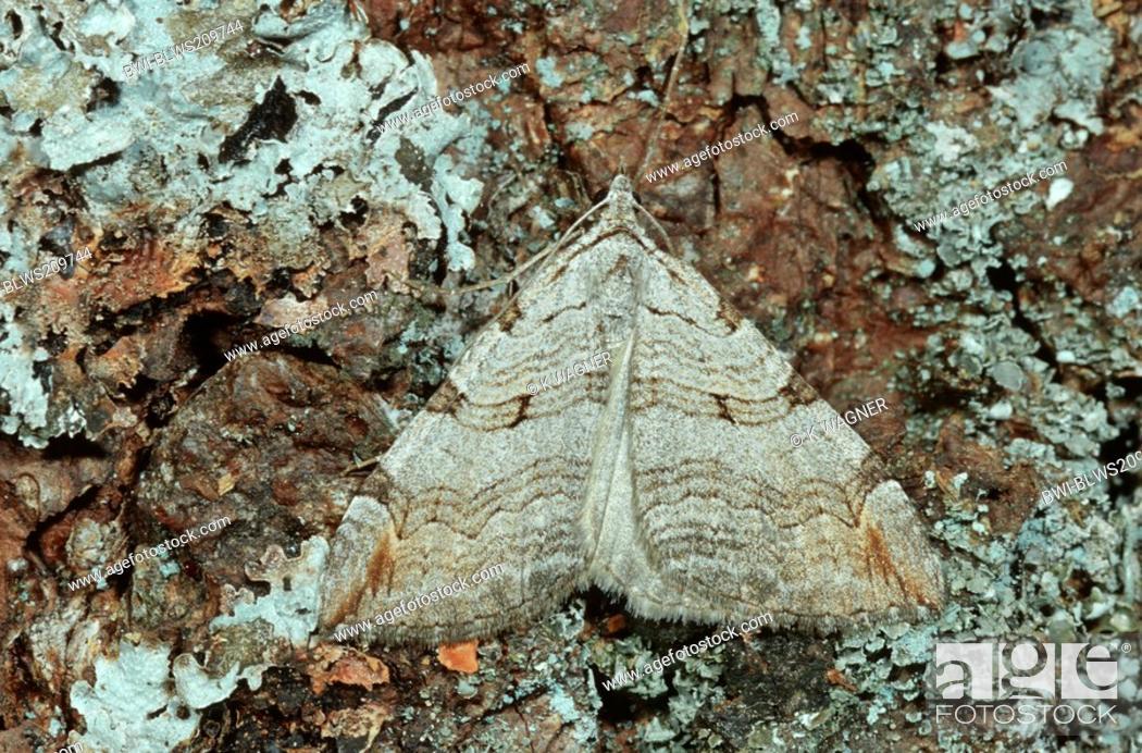Stock Photo: Aplocera efformata Aplocera efformata, sitting camouflaged on bark, Germany.