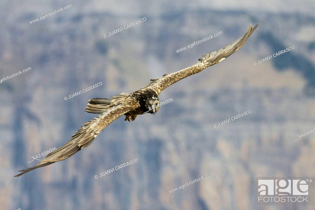 Stock Photo: Lammergeier (Gypaetus barbatus) in flight.
