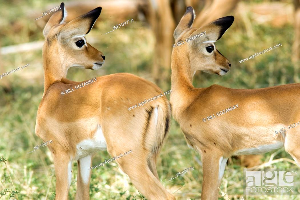 Imagen: Young Impala - Samburu National Reserve, Kenya.
