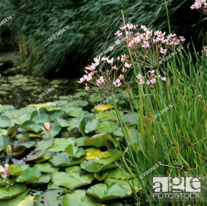 Stock Photo: Flowering rush Butomus umbellatus by pond.