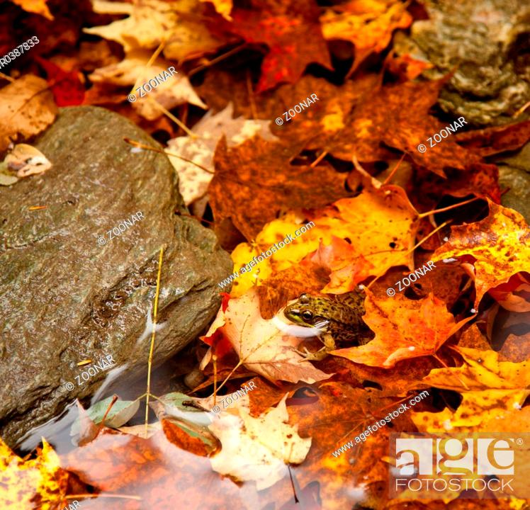 Stock Photo: Frog deep in fall leaves.