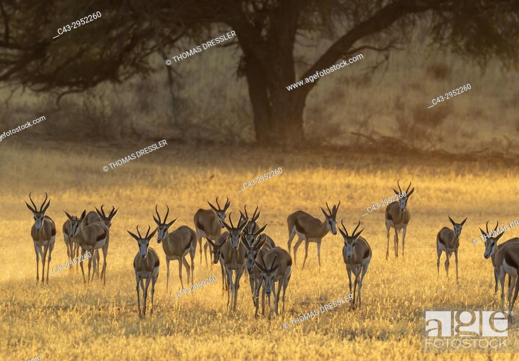 Stock Photo: Springbok (Antidorcas marsupialis). In the early morning in the dry Auob riverbed. Kalahari Desert, Kgalagadi Transfrontier Park, South Africa.