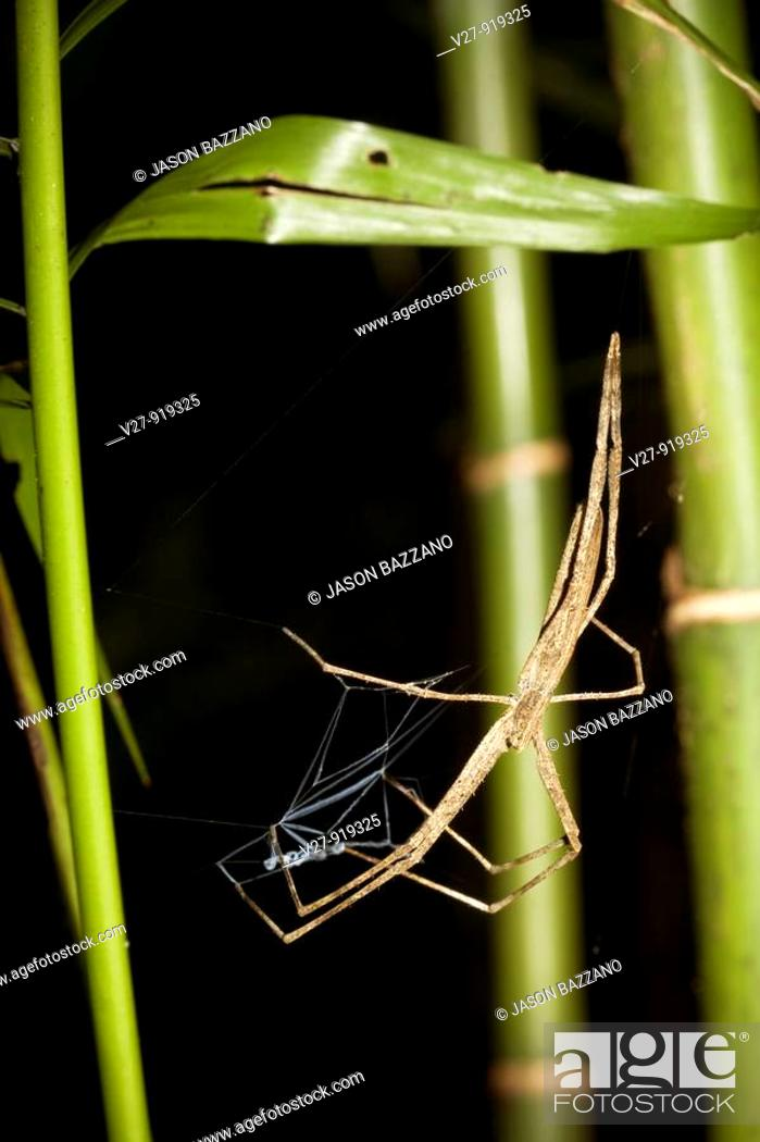 Ogre Faced Spider Family Deinopidae With Silken Net Awating Prey