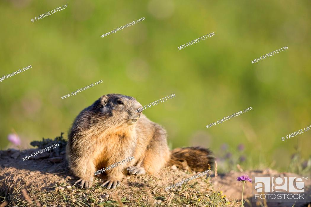 Photo de stock: Nature - Fauna - Marmot - Marmot in the natural regional park of Queyras.