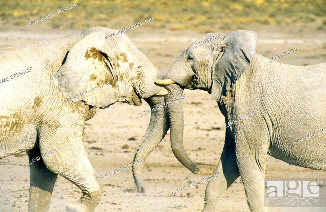 Stock Photo: African Elephant Loxodonta africana - Fighting bulls  Their whitish appearance is due to the bleached calcite soils of Etosha  Etosha National Park, Namibia.