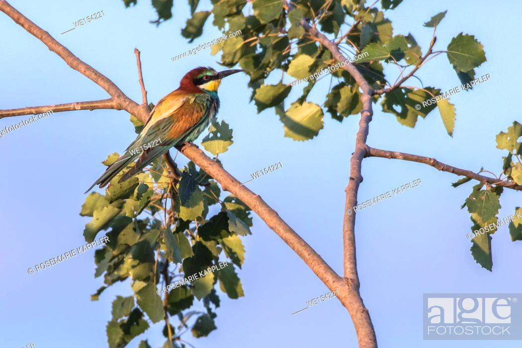 Stock Photo: Germany, Saarland, Homburg - An eurasian bee-eater on the edge of a sandpit.