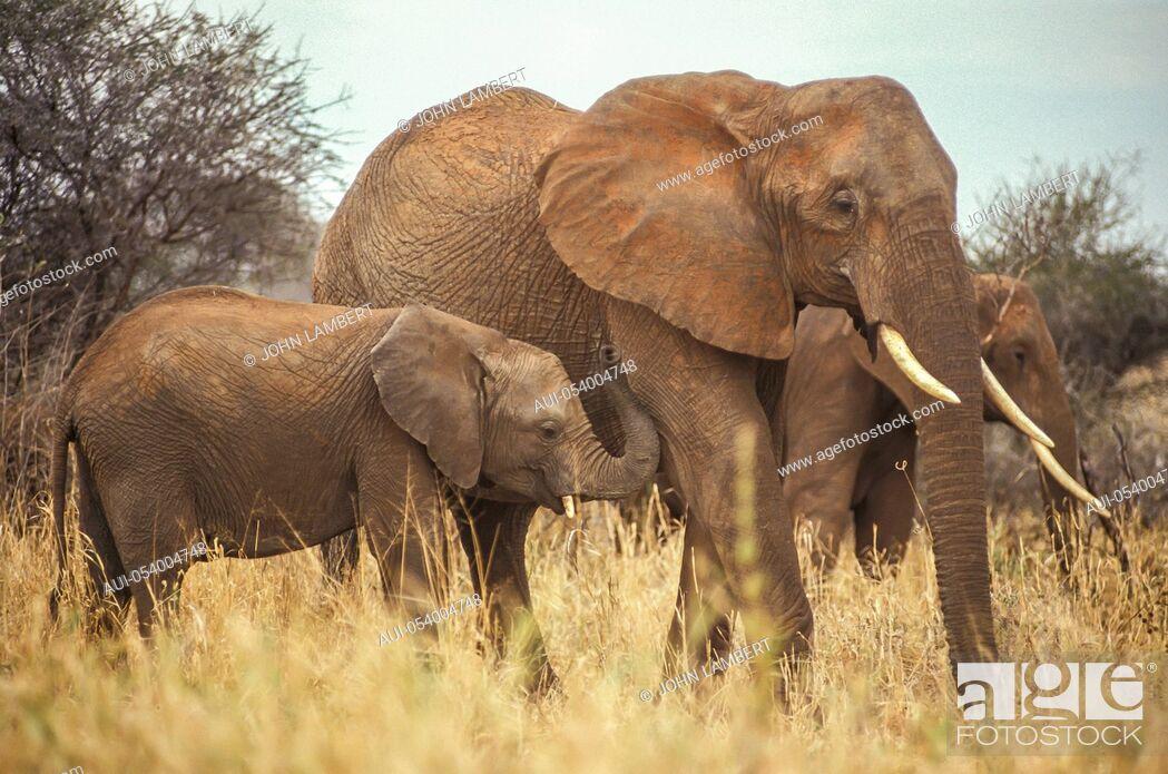 Stock Photo: africa, tanzania, female elephant with calf (loxodonta africana).