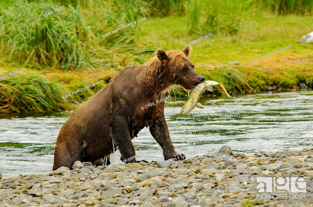Stock Photo: Grizzly emerging from stream with salmon in its mouth.