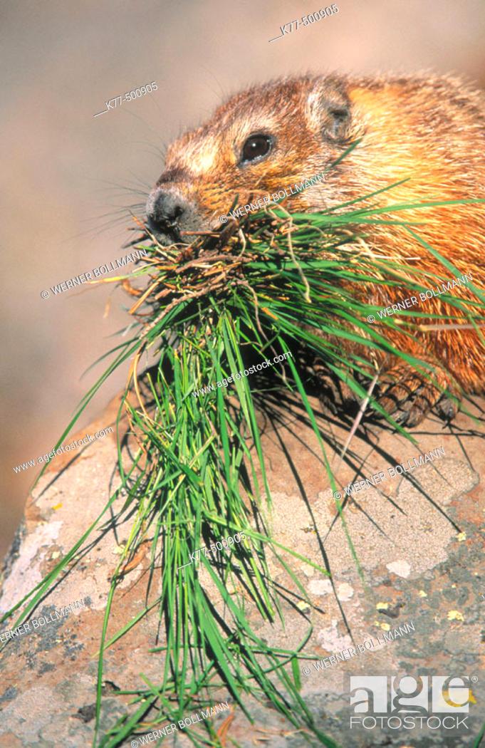 Stock Photo: Yellow bellied marmot. Rock chuck with grass as store for hibernation (Marmota flaviventris). Yellowstone N.P. Wyoming. USA.