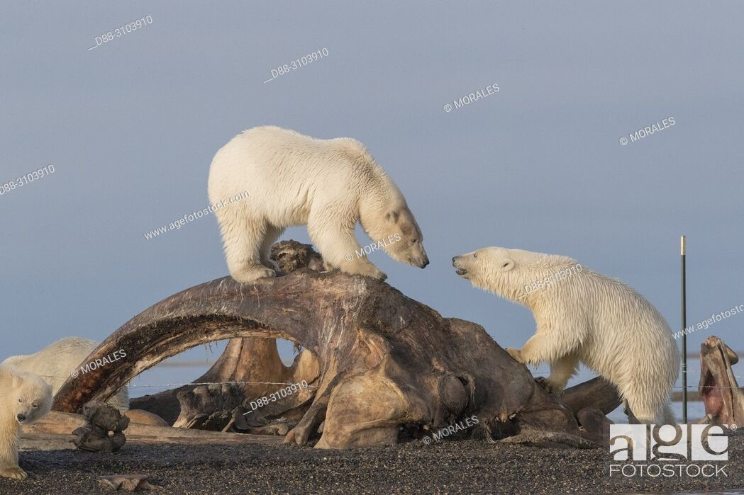 Photo de stock: United States, Alaska, Arctic National Wildlife Refuge, Kaktovik, Polar Bear( Ursus maritimus ), along a barrier island outside Kaktovik, Alaska.