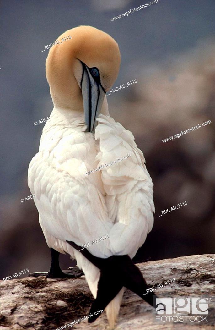 Stock Photo: Northern Gannet comfort behaviour Cape St Mary Newfoundland Canada Morus bassanus.