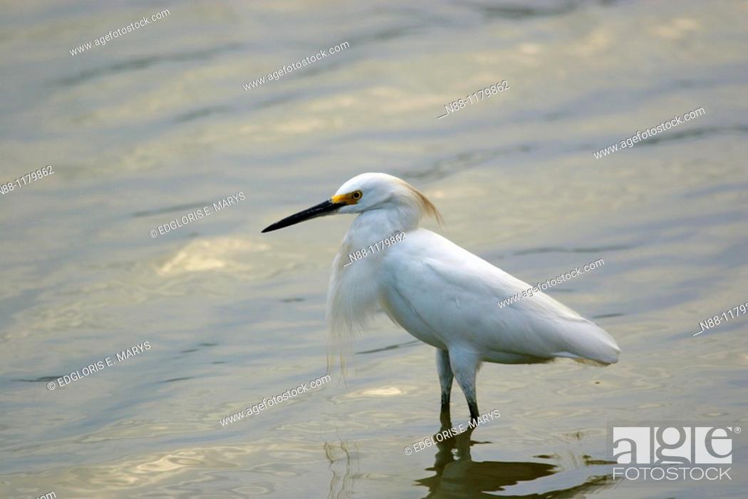 Stock Photo: Snowy Egret, Egretta thula, Garza chusmita, Laguna de Unare, Venezuela.