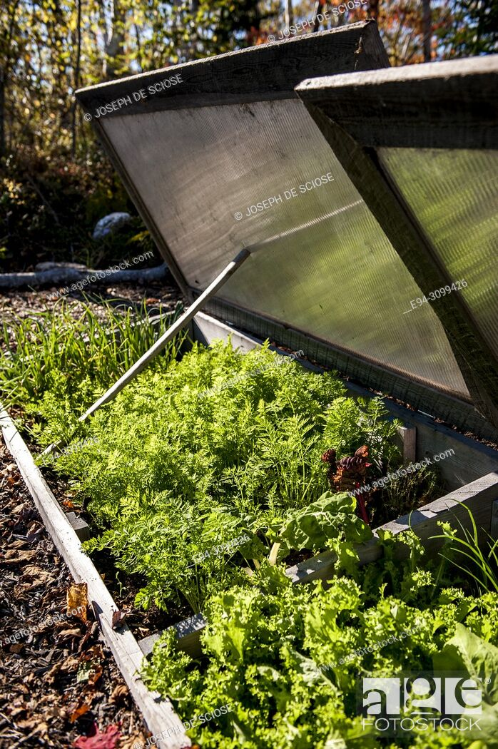Stock Photo: Parsley and salad greens growing in a cold frame in the autumn.