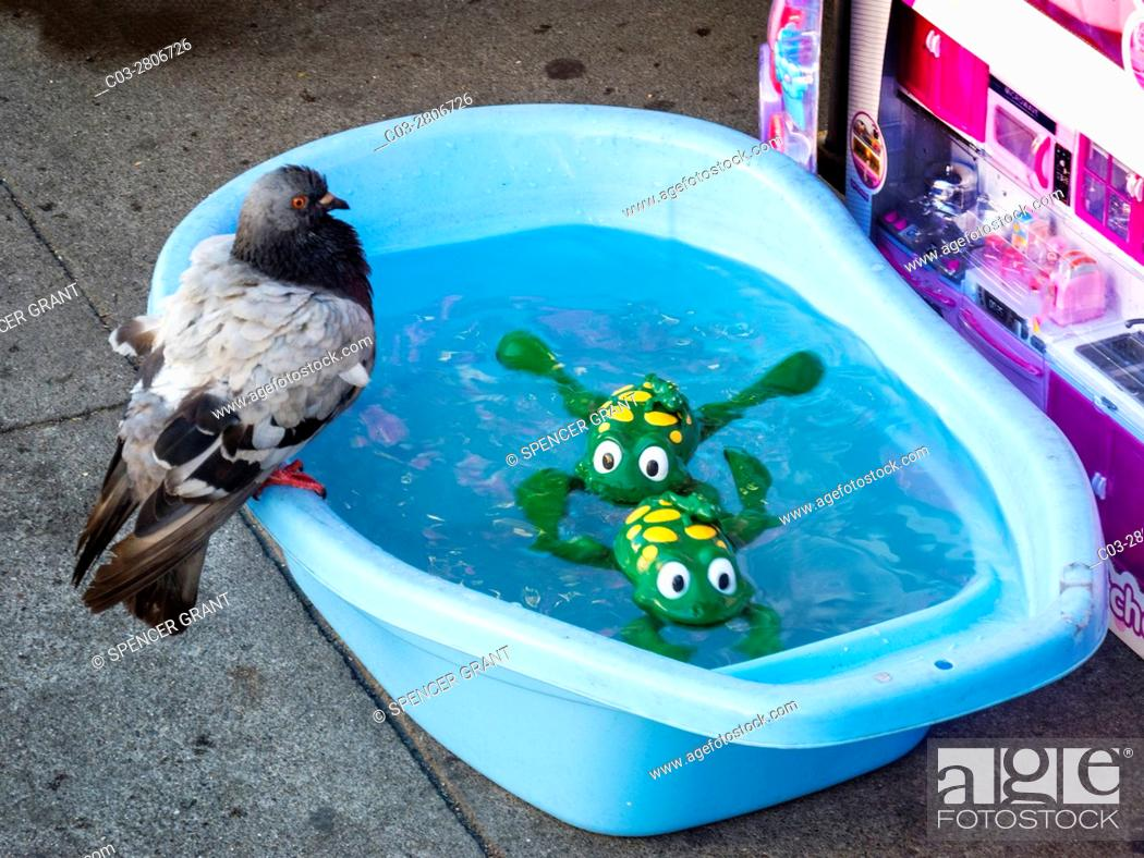 Stock Photo: A stray pigeon perches on a San Francisco sidewalk merchant's basin of water in which two mechanical toy frogs swim.
