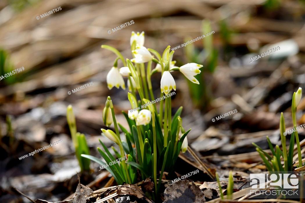 Stock Photo: spring snowflake, Leucojum vernum, blossom,.