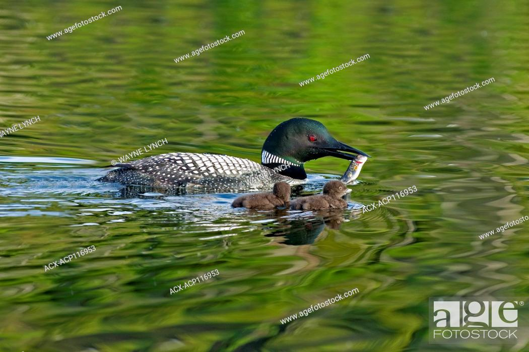 Stock Photo: Adult common loon (Gavia immer) feeding two-week old chicks, central Alberta, Canada.
