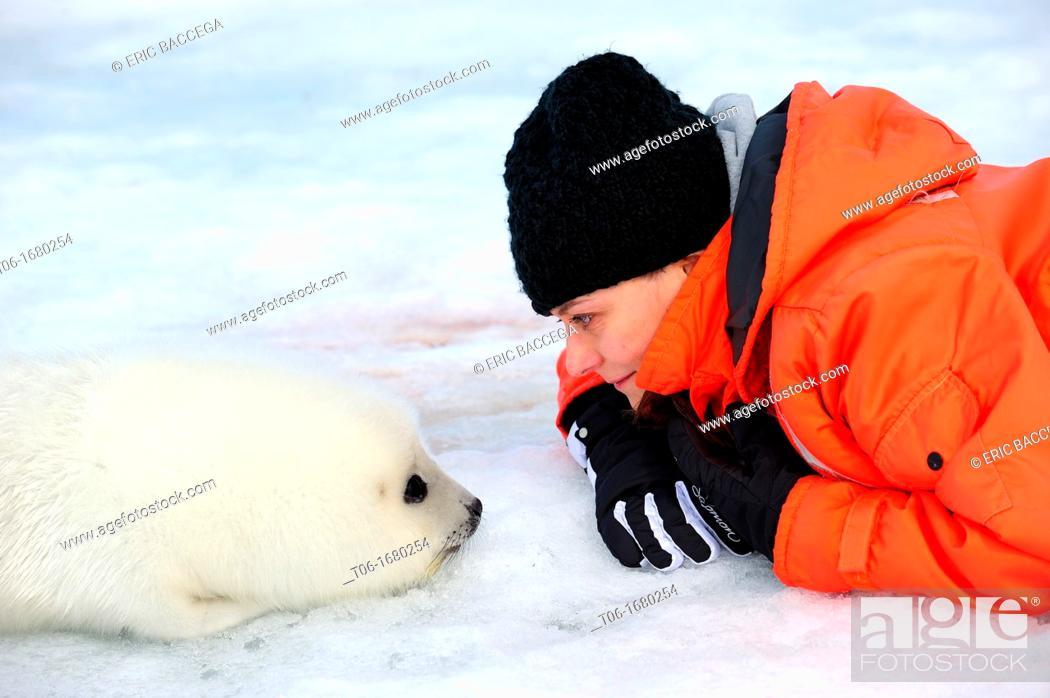 Stock Photo: Tourist watching harp seal pup on ice Phoca groenlandicus Magdalen Islands, Quebec, Canada.