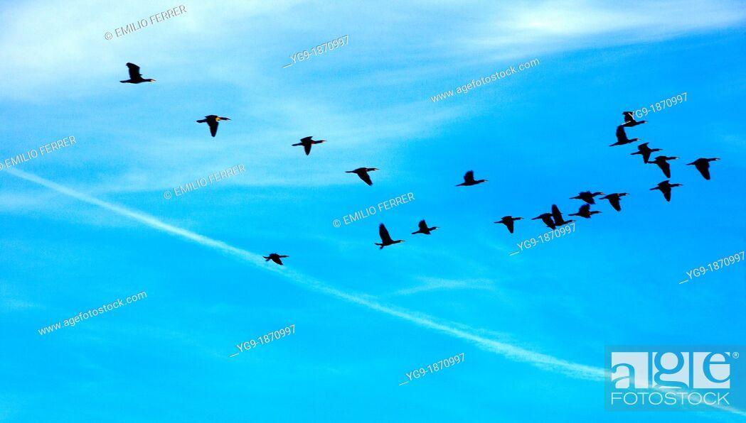 Stock Photo: 'Phalacrocorax carbo' flying in Estany d'Ivars  Vila-sana  LLeida  Spain.