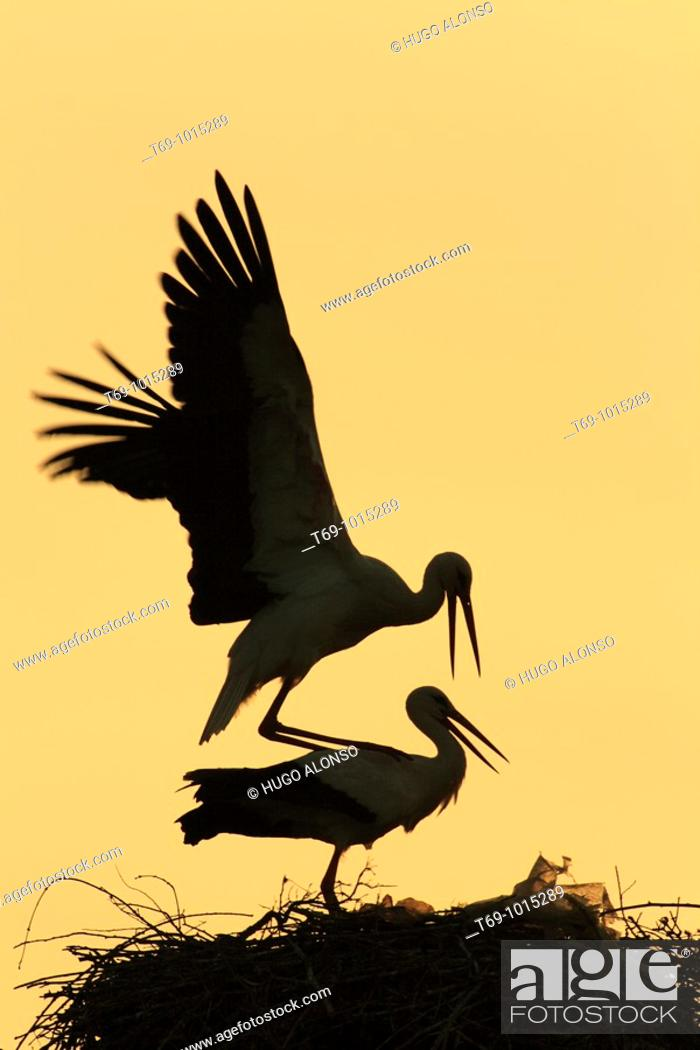 Stock Photo: White Stork (Ciconia ciconia). Spain.