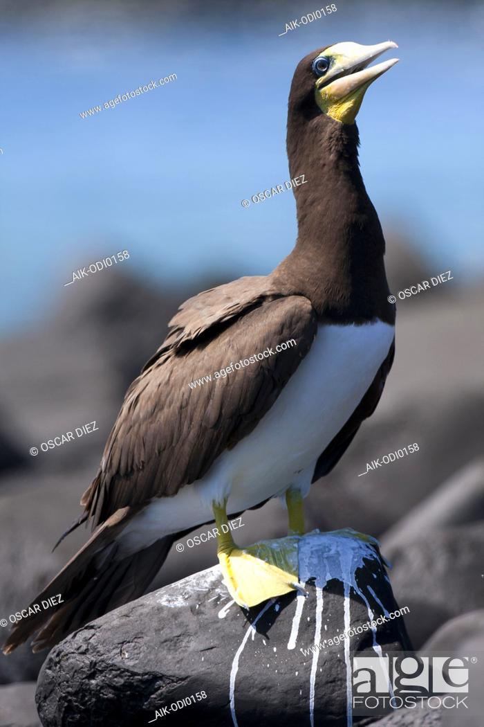 Stock Photo: Brown Booby, Sula leucogaster.