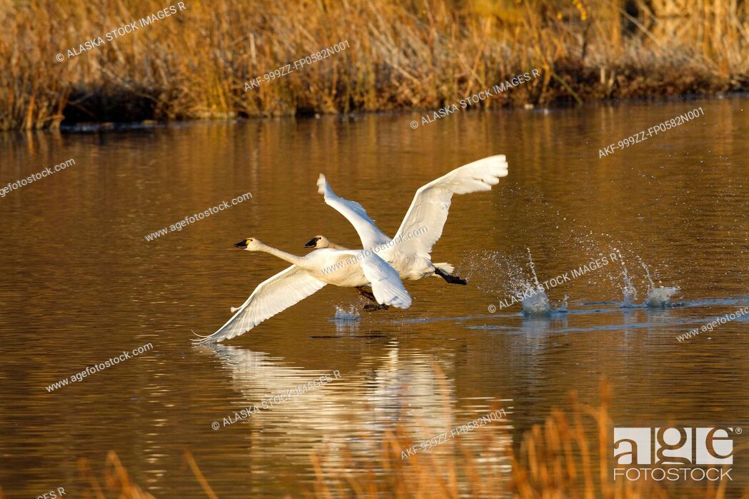 Stock Photo: Trumpeter swans in flight over Potter Marsh with Autumn foliage in the background, Southcentral Alaska.