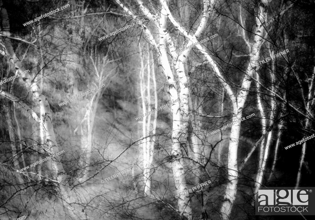 Stock Photo: Birch trees in the fall. The image is sandwiched causing the ghostly effect.