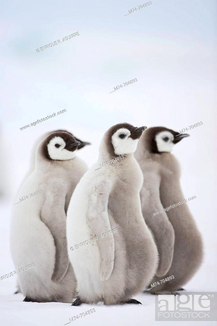 Stock Photo: Emperor Penguin Aptenodytes forsteri, chick at Snow Hill Island, Weddel Sea, Antarctica.