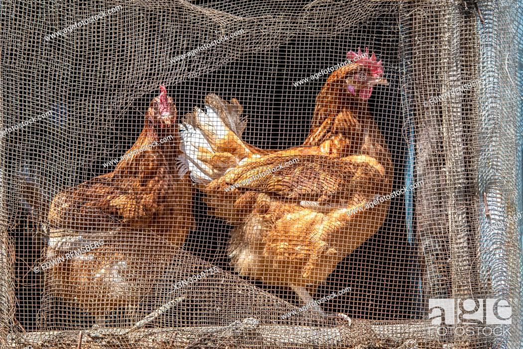 Stock Photo: Chickens caged in a coop, Debre Berhan, Ethiopia.