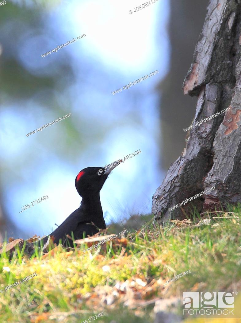 Stock Photo: Black Woodpecker (Dryocopus martius), Stockholm, Sweden.
