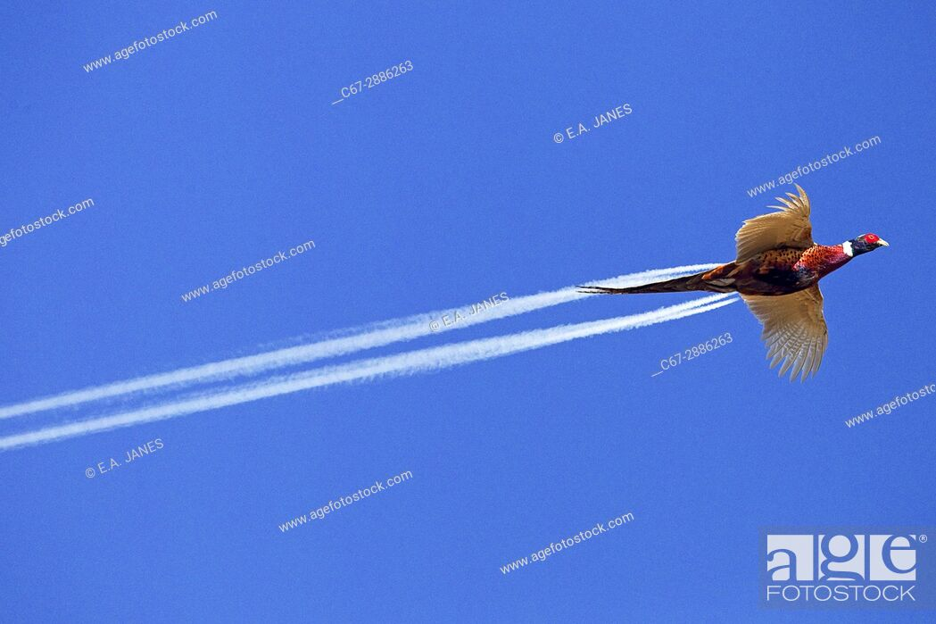 Stock Photo: High flying Pheasant Phasianus colchicus male and passing plane.