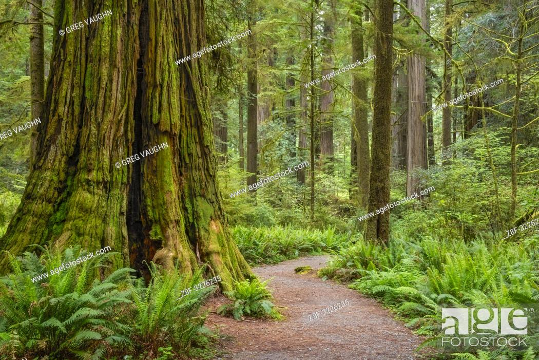 Imagen: Trail through redwood trees in Simpson-Reed Grove, Jedediah Smith State Park, California.
