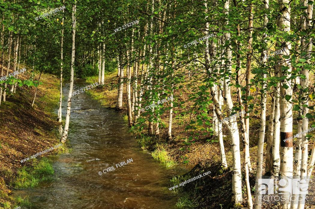 Stock Photo: Grove of White Birch Trees Location is Fairbanks Alaska.