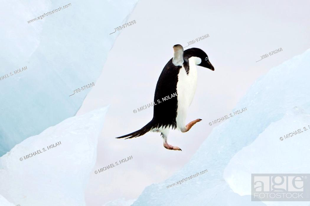 Stock Photo: Adelie penguin Pygoscelis adeliae near the Antarctic Peninsula, Antarctica  The Adélie Penguin is a type of penguin common along the entire Antarctic coast and.