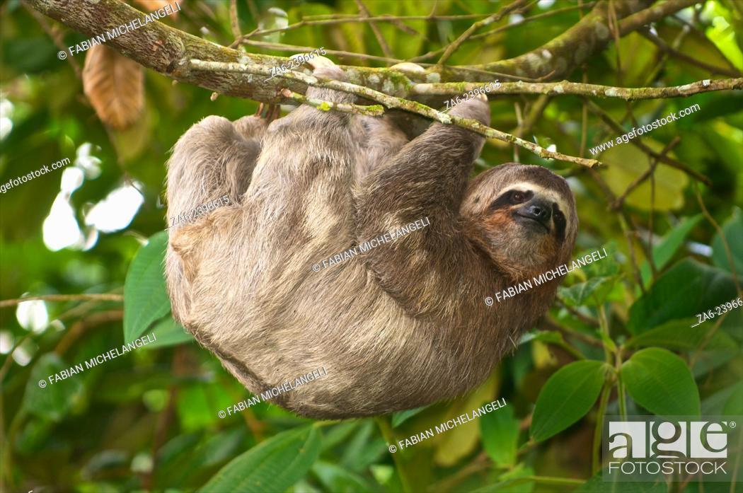 Imagen: Three-toed sloth (Bradypus variegatus) in the northern mountain rainforests, Venezuela.