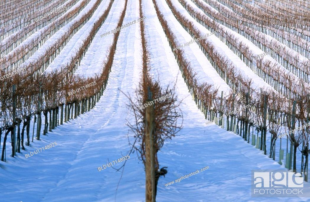 Stock Photo: Grapevines in a blanket of snow.