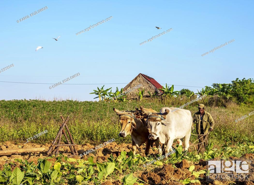 Imagen: Traditional Plowing at Vinales Valley, UNESCO World Heritage Site, Pinar del Rio Province, Cuba.