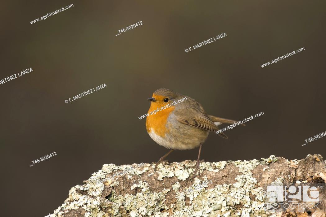 Stock Photo: The European Robin (Erithacus rubecula) is a species of passerine bird of the family Muscicapidae. Sierra de Guadarrama, Madrid province, Spain.