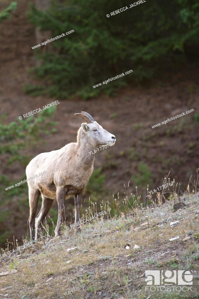 Stock Photo: A rocky mountain bighorn sheep Ovis canadensis canadensis stands on a ridge in Jasper National Park, Alberta, Canada.