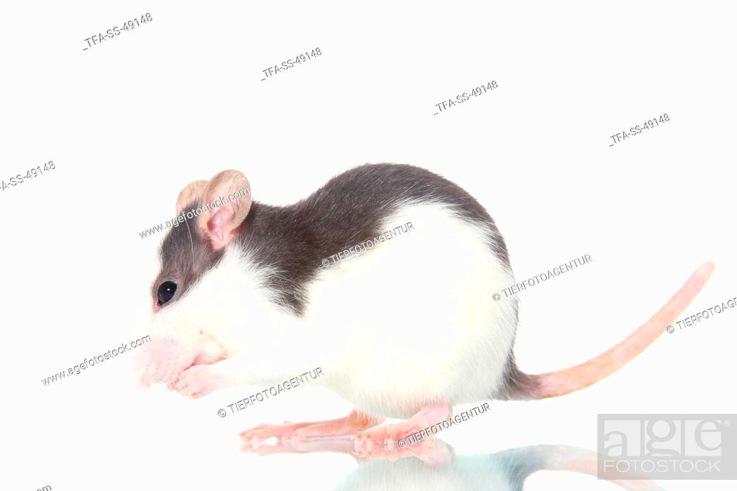 Imagen: fancy rat.