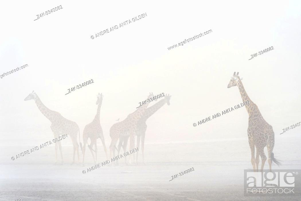 Imagen: Small herd of Giraffe (Giraffa camelopardalis) in sandstorm, Ndutu lake, Ngorongoro conservation area, Tanzania.