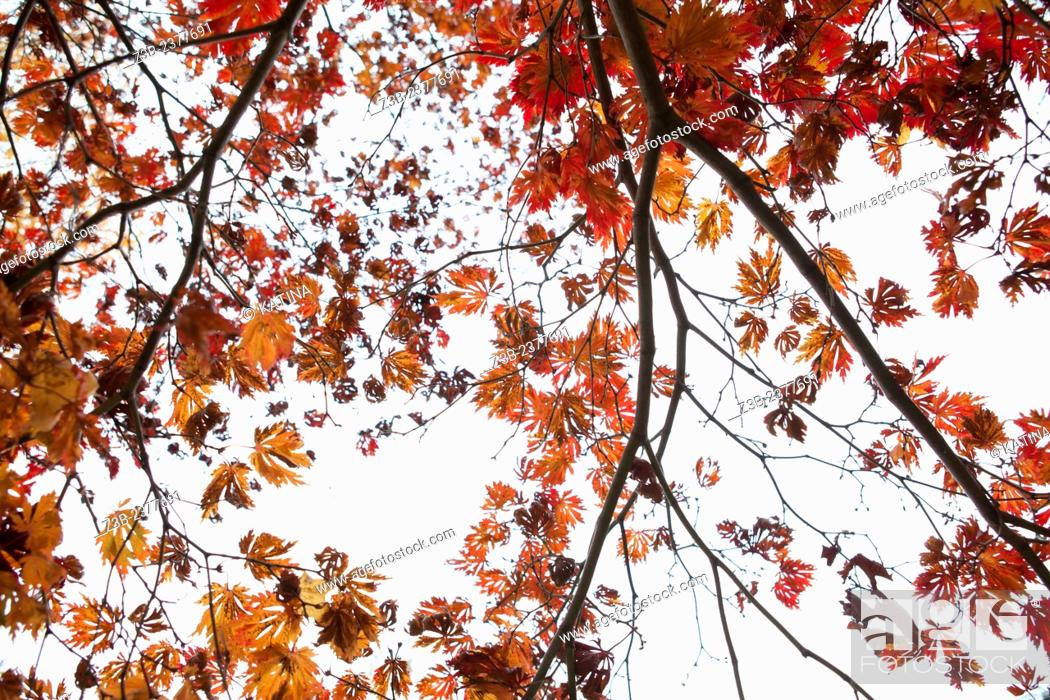 Imagen: Japanese Maple tree, Acer japonicum, with red, orange and yellow leaves, Frelinghuysen Arboretum, Morristown, New Jersey, NJ, USA.